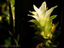 Kurkuma Blume